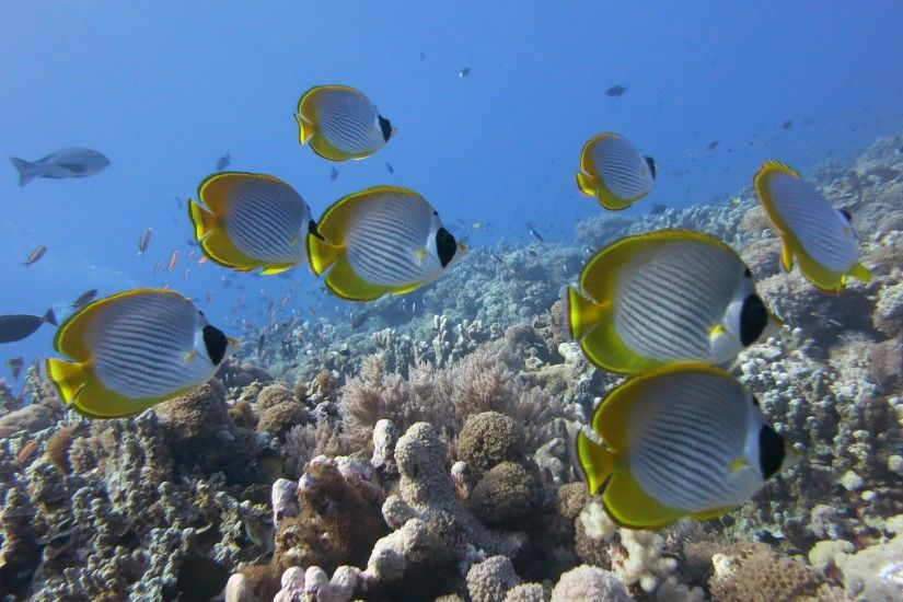 Preview wallpaper underwater, fish, butterflyfish panda, coral, reef  3840x2160