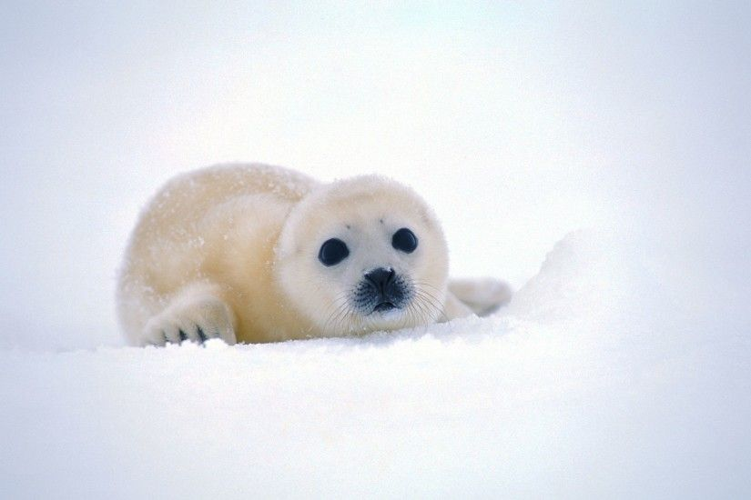 Funny baby seal wallpapers