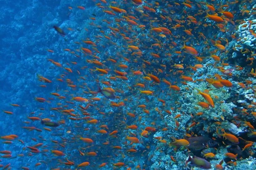 School of tropical fish in a colorful coral reef with water surface in  background, Red sea, Egypt. Full HD underwater footage.