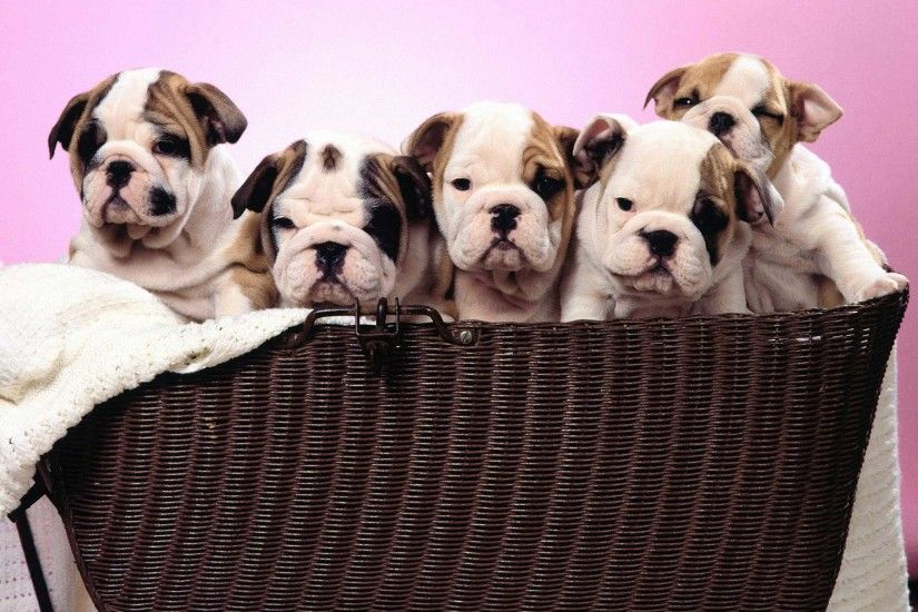 15 Best Free English Bulldog Puppies Wallpapers