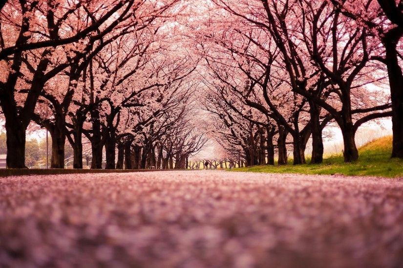 landscape, Cherry Blossom, Trees, Path, Nature Wallpapers HD . ...