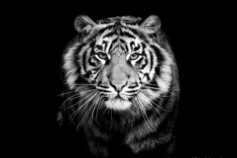 Black tiger photos 1600×1000 Black And White Tiger Wallpapers (44 Wallpapers)  |