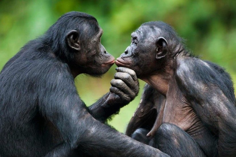 Animal - Bonobo Animal Ape Wallpaper