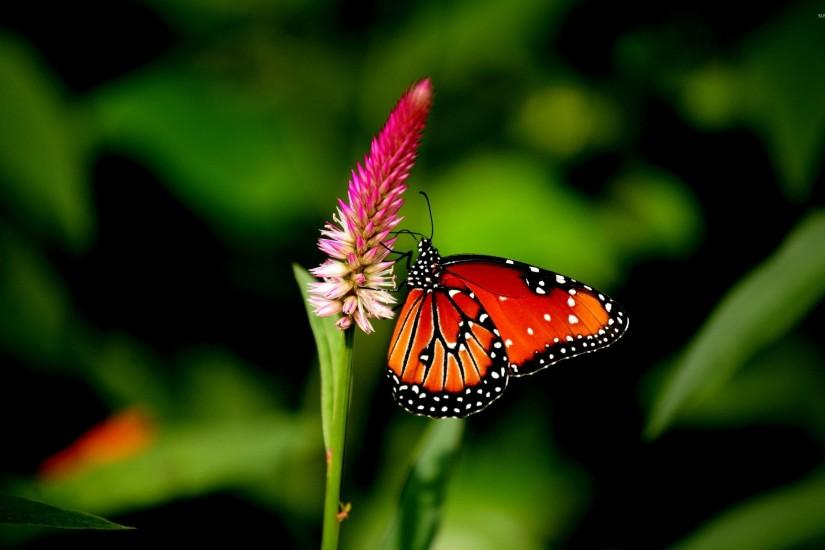 download butterfly wallpaper 2560x1600 for mac