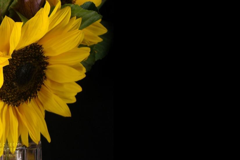 sunflower background 2560x1440 hd for mobile