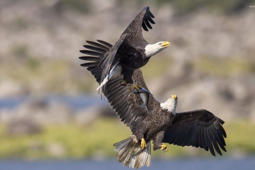 Bald eagle with a fish in its claws wallpaper