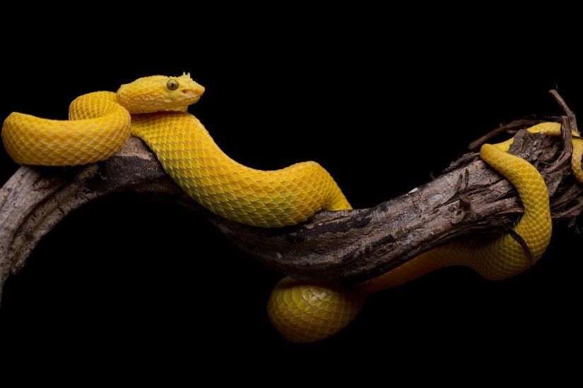 animals black background branch snake yellow simple serpent velociraptor  reptile 1920x1080 px macro photography boas
