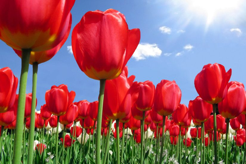 Beautiful Red Tulips Flowers Wallpaper Background
