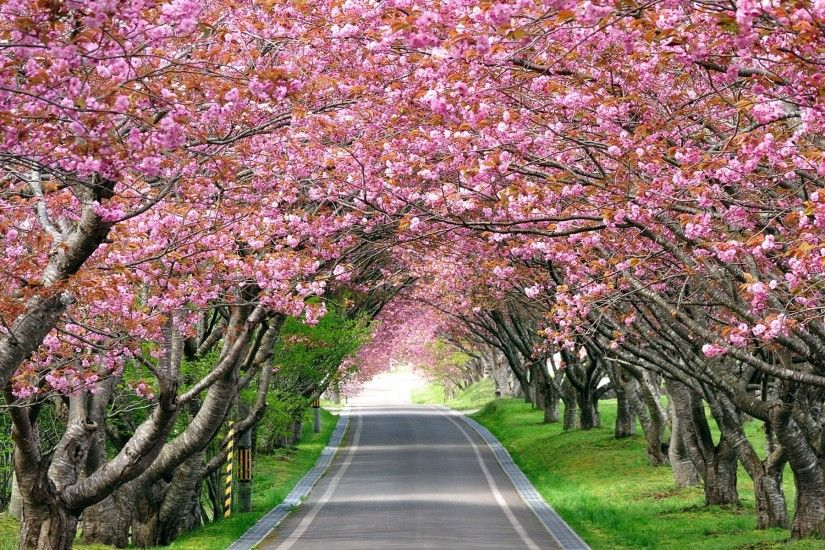 ... 1920x1200 Cherry Blossom Tree Wallpaper (60+ images)