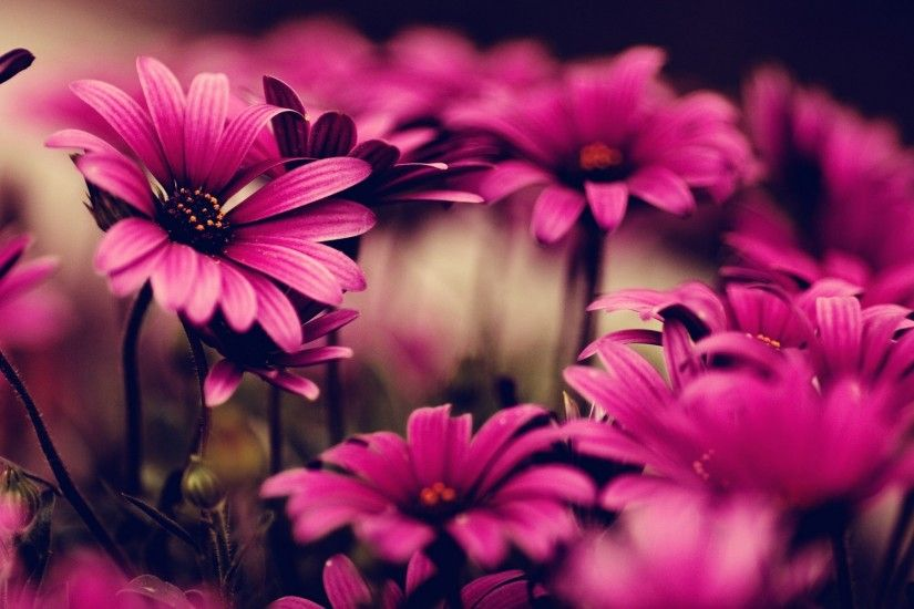 Related Desktop Backgrounds. Pink Flowers