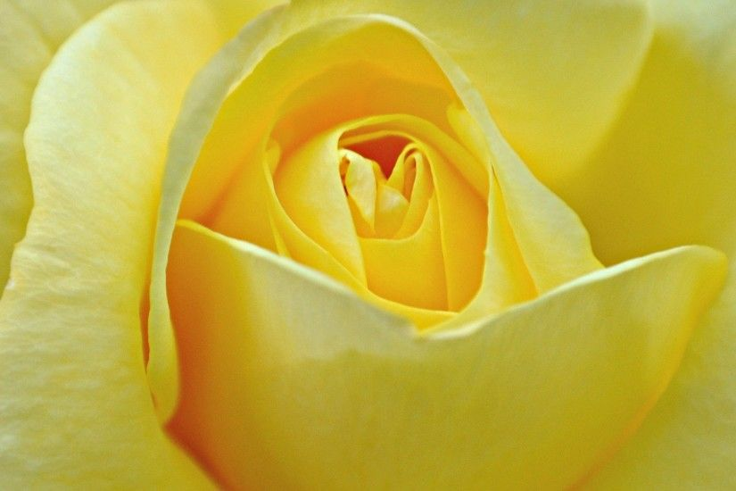 yellow rose wallpaper flower