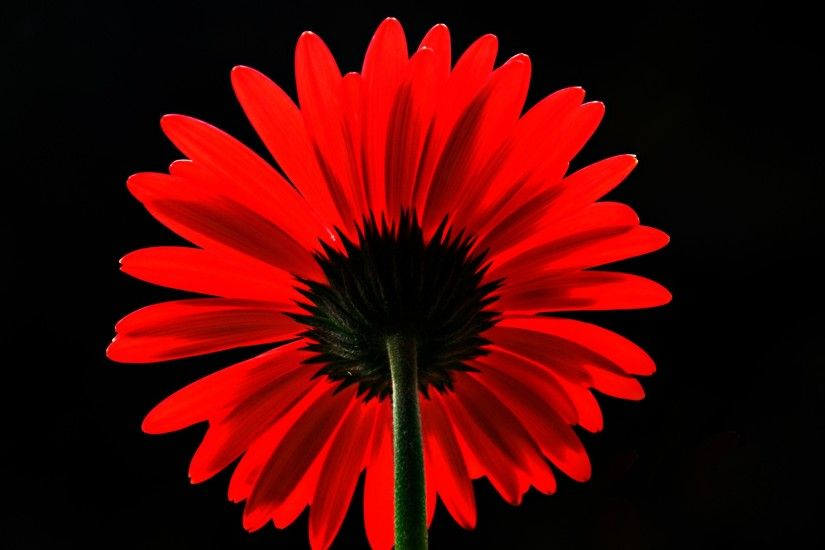 Flowers / Red Daisy Wallpaper