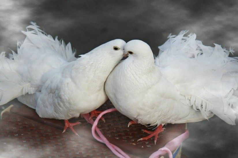Kissing love birds white dove birds HD wallpapers | HD .
