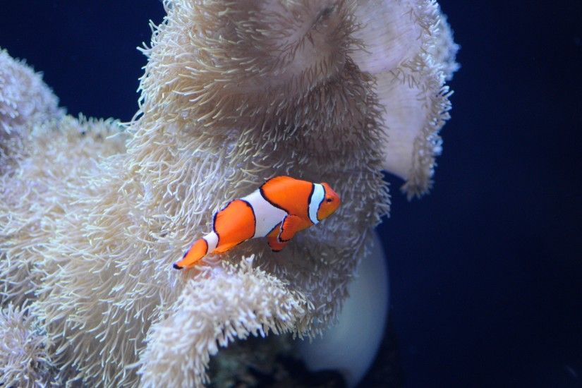 Seattle Aquarium Clownfish Wallpaper