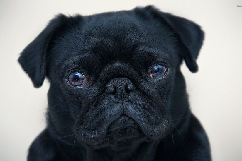 Black pug wallpaper 1920x1200 jpg