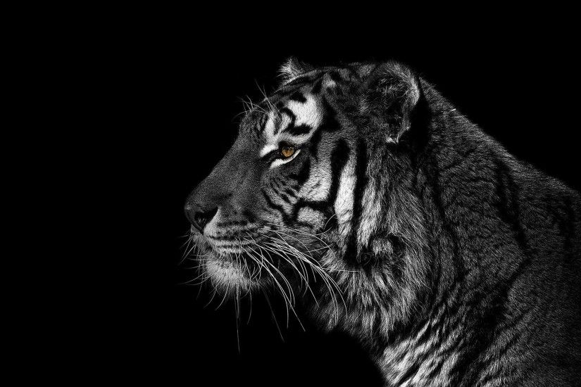 1920x1200 Pretty cool black background Tiger from Christian Meermann