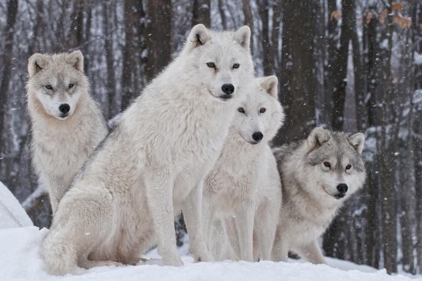 Wolf Wallpapers HD Pictures | One HD Wallpaper Pictures Backgrounds ...  White Wolf Wallpaper