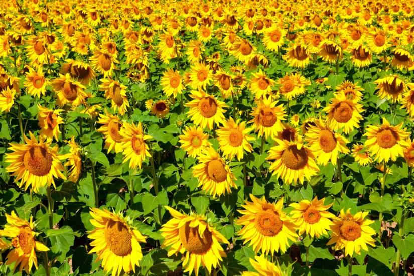 sunflower background 1920x1200 for hd