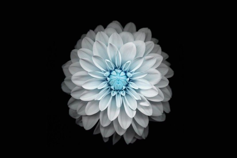 dahlia backround - Full HD Wallpapers, Photos, 98 kB - Oakley Nash-Williams