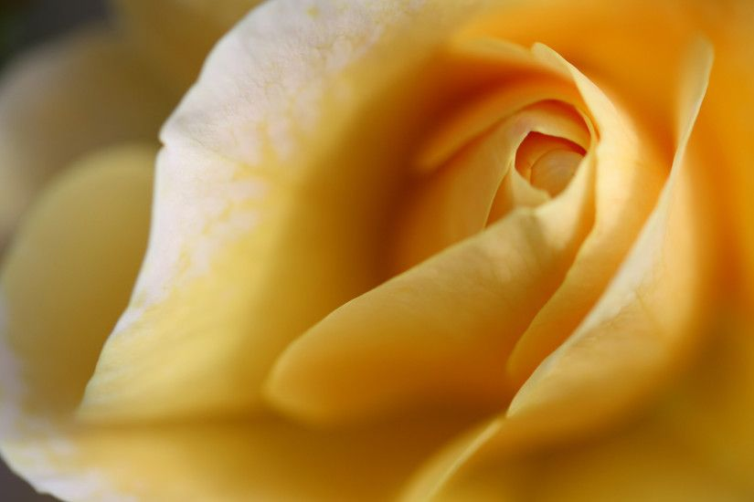 yellow rose flower wallpaper 10364