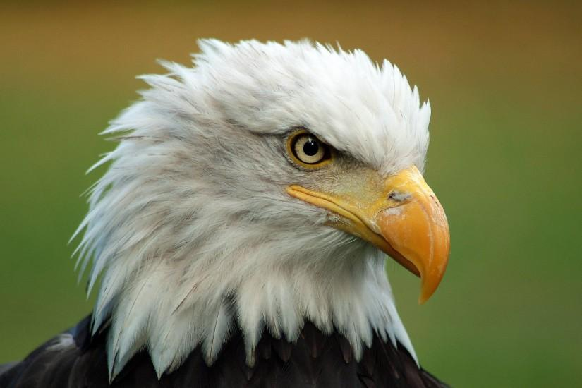 Majestic Bald Eagle Wallpapers | Pictures