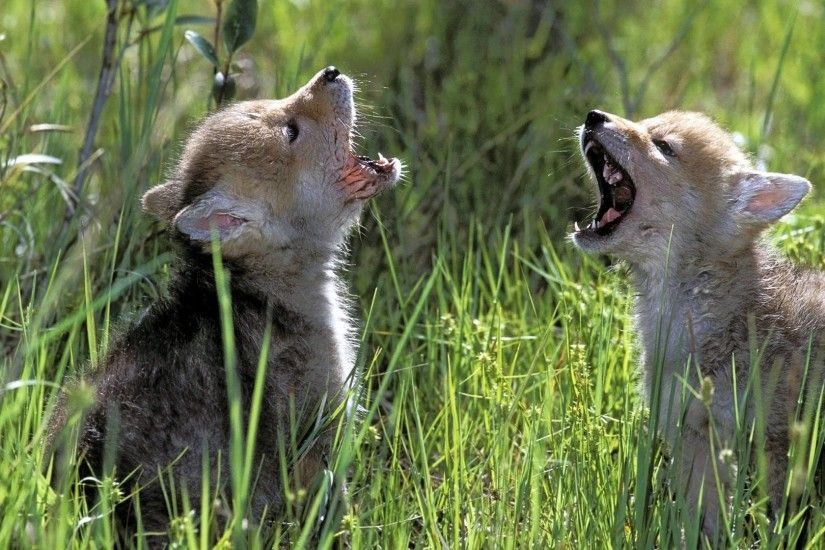 Cute Baby Wolf Wallpaper Wolf cubs, 2 cute wolf cubs
