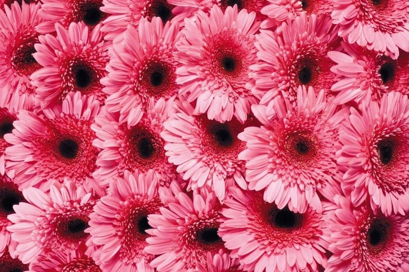 Pink Gerber Daisy Flowers Wallpaper