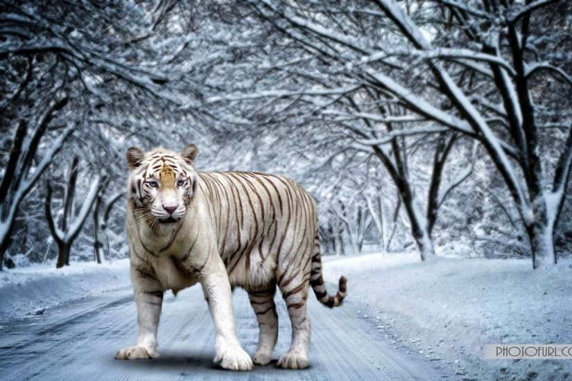 White Bengal Tiger Wallpapers - Wallpaper Cave