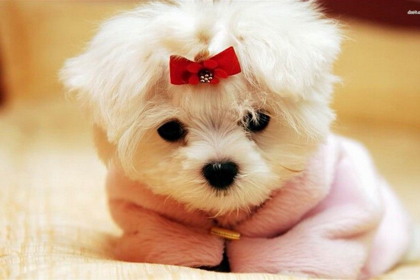 Maltese puppy with a bow Animal HD desktop wallpaper, Dog wallpaper, Puppy  wallpaper, Maltese wallpaper - Animals no.