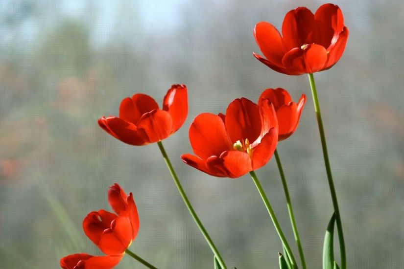 ... Red tulips HD Wallpaper 2880x1800