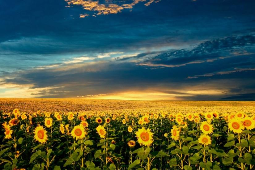 sunflower wallpaper 1920x1080 for full hd