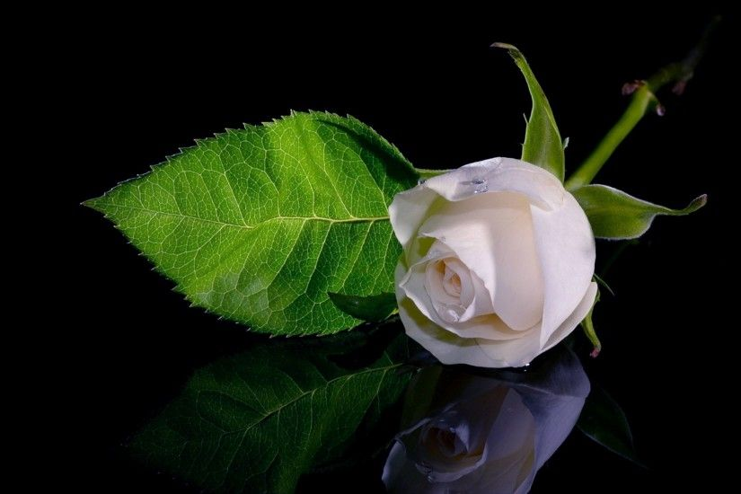 White: Purity, Innocence, Sympathy, Spirituality Early tradition used white  roses as a