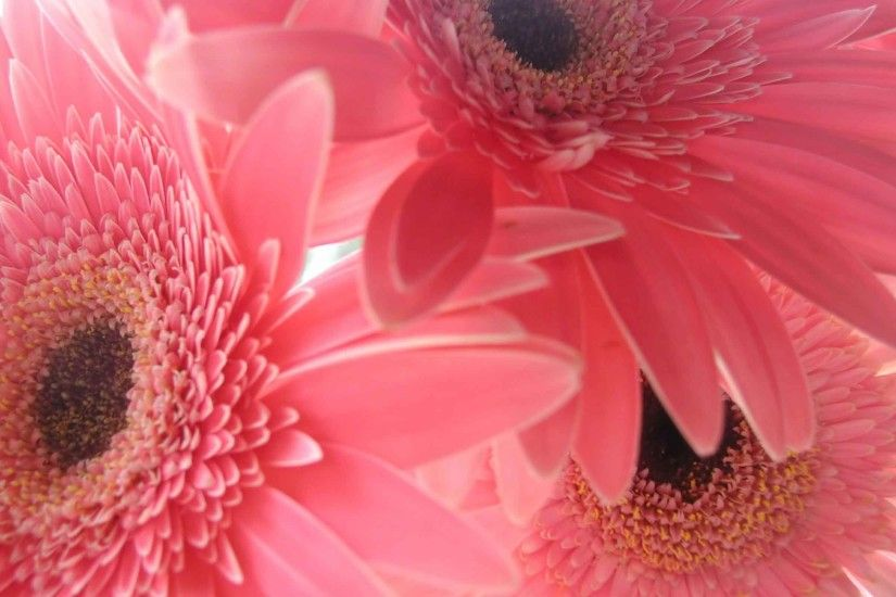 Flowers Gerbera Daisy Flower Gerber Pink Nature Wallpaper Mobile