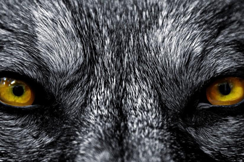 Angry Wolf Wallpaper Widescreen All Wallpaper Desktop 1920x1080 px 1.32 MB  animal Black Wolf Keren Art