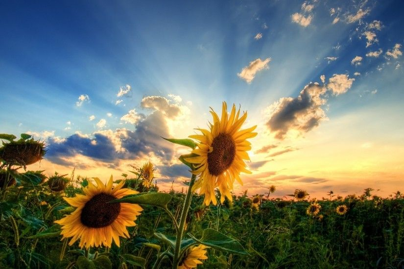 Sunset with Sunflower HD Photography