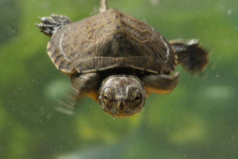 A two-month-old western pond turtle swims at the San Francisco Zoo.