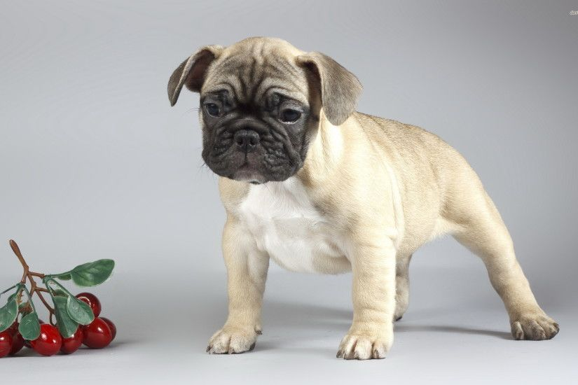 ... Pug puppy wallpaper 2560x1600 ...