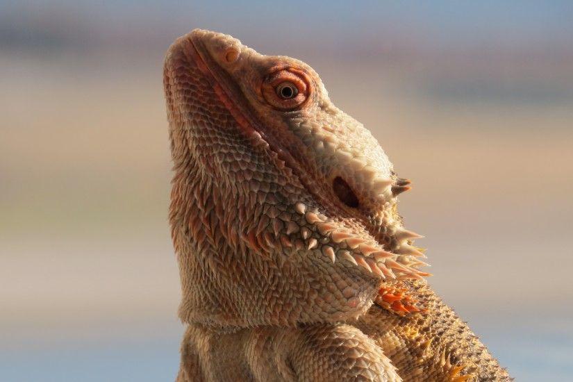 3840x2160 Wallpaper central bearded dragon, lizard, reptile