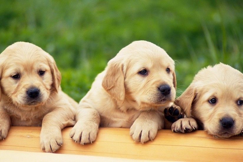 ... cute-labrador-retriever-puppy-sleeping-desktop-wallpaper | I Love ...