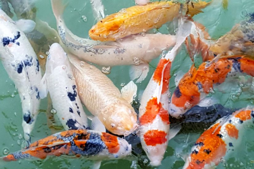Koi carps in various colors.
