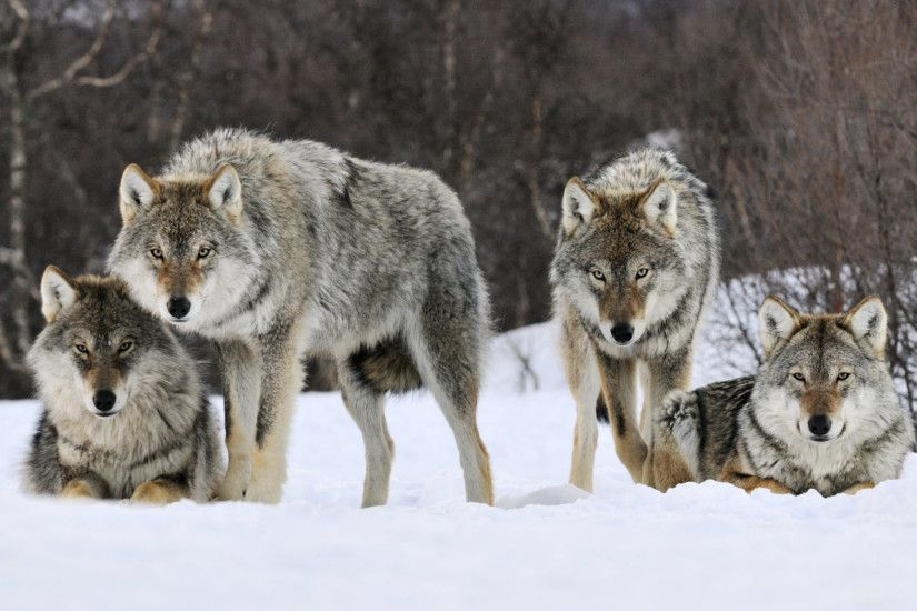 Gray Wolves Norway