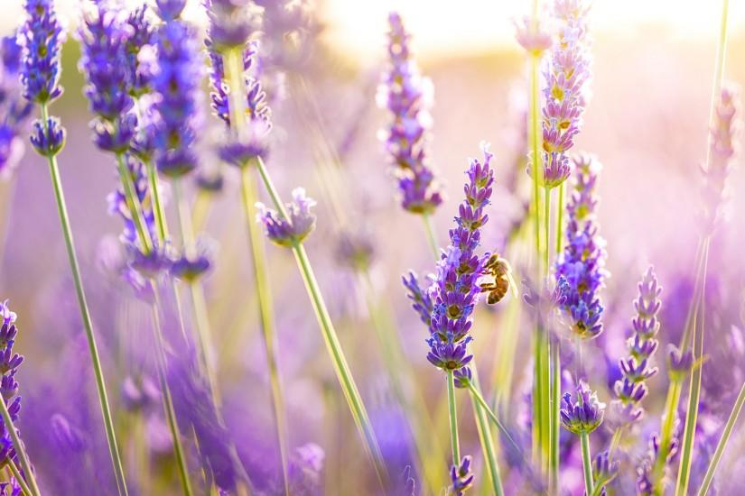 full size lavender wallpaper 1920x1200