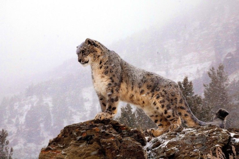 Image result for snow leopard wallpaper