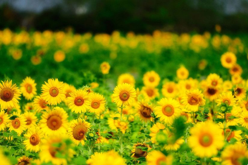 Sunflower Wallpapers Group (75 )