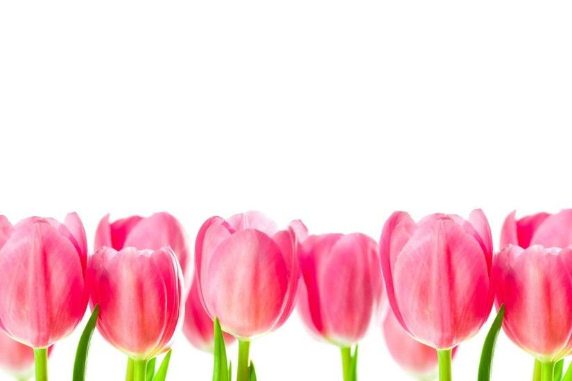 Backgrounds For > Beautiful Pink Tulip Wallpaper