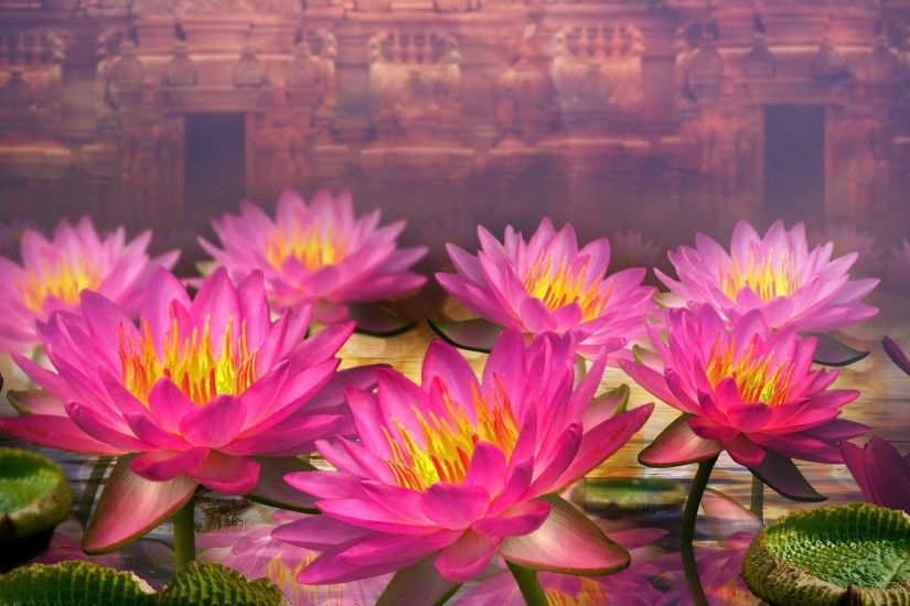 pink-lotus-flowers-wide-hd-wallpapers