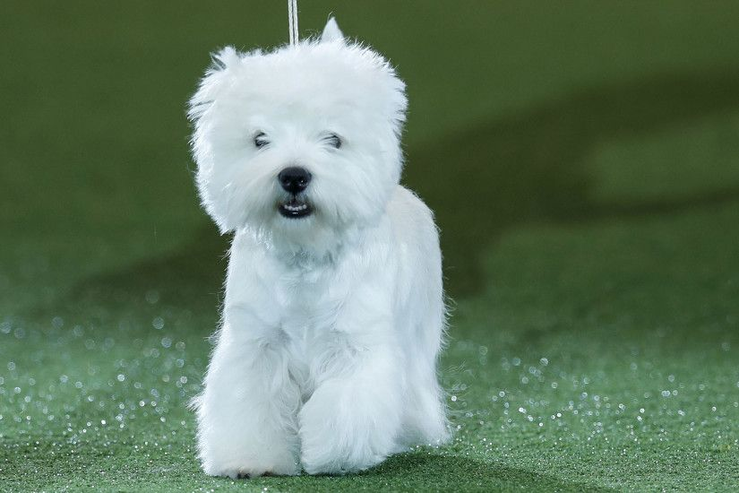 Crufts 2016: West Highland Terrier 'Geordie Girl' wins Best in Show | The  Independent