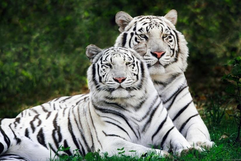 HD Wallpaper | Background ID:277017. 1920x1200 Animal White Tiger