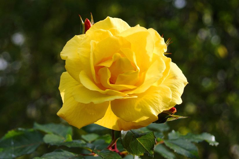 Hi Res Nature Photos with Yellow Rose Flower