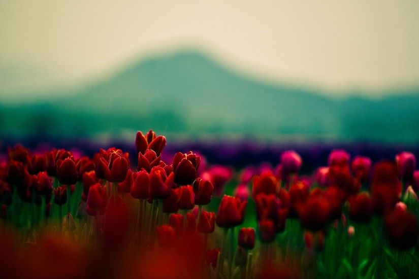 flowers wallpaper tulips tulips red red flowers flower flowers beauty  beautiful flowers beautiful wallpaper petals close